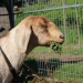 One of the hard working goats from Goats on the Hoof at Esquimalt's Highrock Park during Earth Day Celebrations.